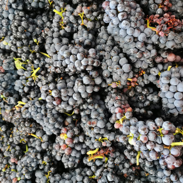 Pinots noirs de Rilly 🍇🤩 #vendanges2020 #champagnedelaunoischanez #champagne #rillylamontagne #montagnedereims #champagnedevignerons #vigneronsindependants #hve #cuverie #premiercru #pinotsnoirs #instachampagne