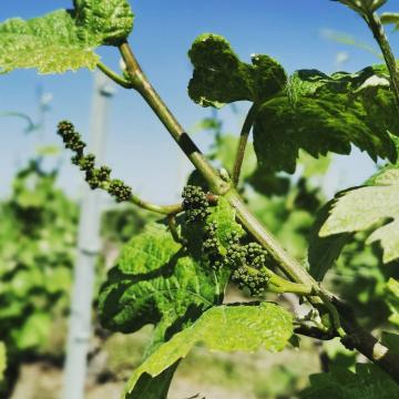 Enfin l'été 🌱🌞🥰 . #champagnedelaunoischanez #rillylamontagne #champagne #vigneronsindependants #champagnedevignerons #hve #recoltantmanipulant #montagnedereims #champagnelover #pinotnoir #vignoblechampenois #vendanges2021