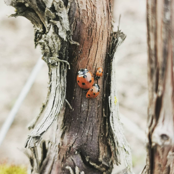 Miraculous Ladybugs 🐞 Le printemps est là !  #champagnedelaunoischanez #rillylamontagne #champagne #montagnedereims #hve #vigne #vignoblechampenois #vigneronsindependants #champagnedevignerons
