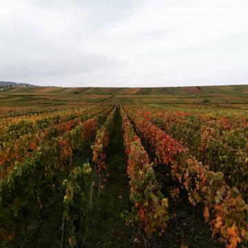 L'automne en Champagne 🍁🍂 #champagnedelaunoischanez #rillylamontagne #champagne #automne #vignoblechampenois #montagnedereims #hve #vigne #ludes
